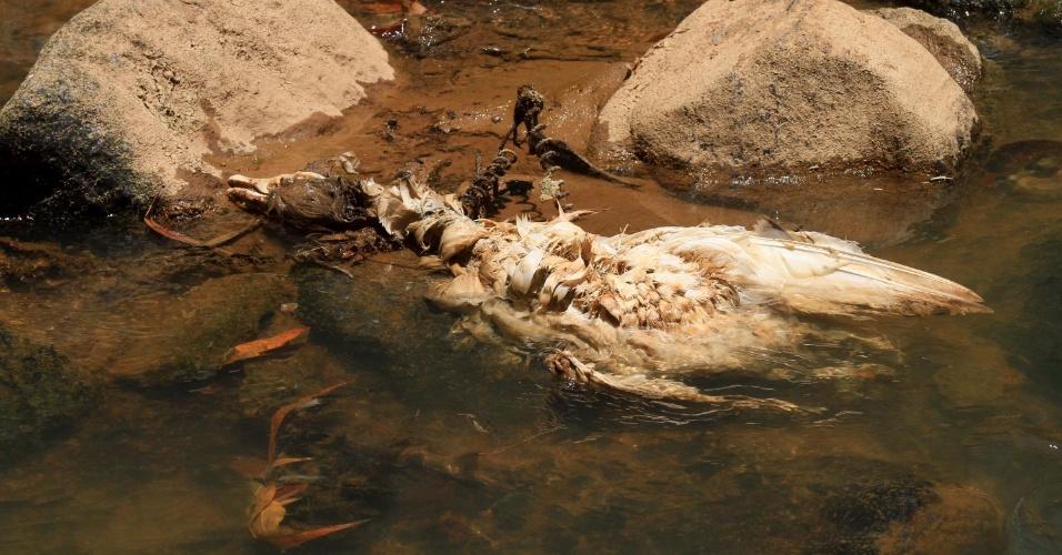 4.fev.2014 - Pato morto é encontrado nas margens visto do rio Atibaia, na região de Campinas, interior de São Paulo