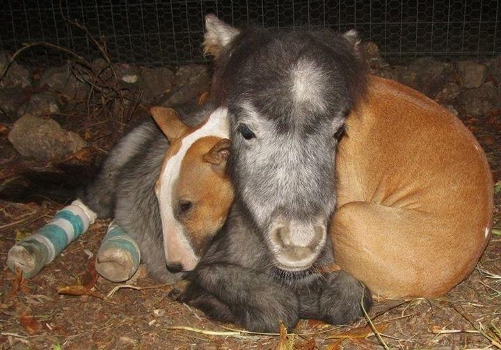 4.fev.2014 - Bazinga, um pequeno cavalo é consolado por Butterbean, um cão da raça bull terrier, depois de passar por uma cirurgia para corrigir os tendões.  O refúgio Rocky Ridge em Midway, Arkansas (EUA) abriga cerca de 60 animais, entre eles estão cães, cavalos, zebras e tartarugas. O abrigo funciona há 20 anos como lar para animais selvagens e também oferece tratamento a bichos feridos, que são tratados e encaminhados para adoção