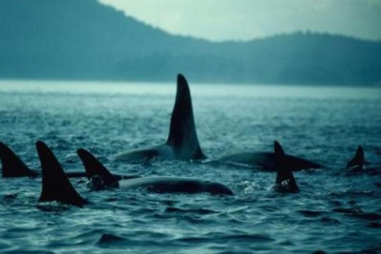 5.fev.2014 - As baleias não se deram muito bem na última Era do Gelo. É o que descobriu um estudo de sequenciamento genético feito em comunidades de baleias assassinas. A pesquisa da Universidade de Durham (Reino Unido) revelou que o número de baleias diminuiu por conta de um declínio na quantidade de alimento nos oceanos ocorrido há 40 mil anos