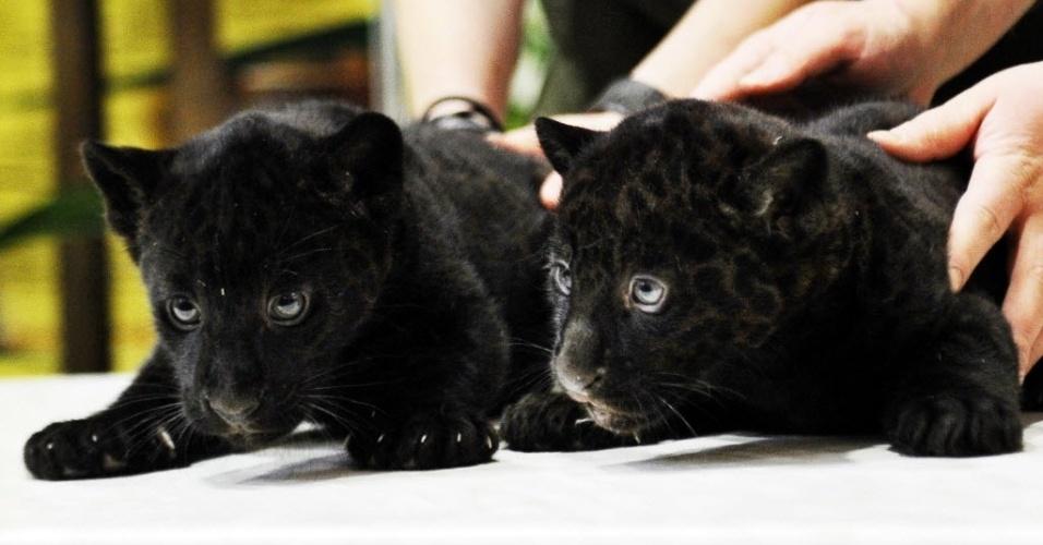 5.fev.2014 -  Filhotes de panteras negras de dois meses de idade são apresentados ao público em zoológico de São Petersburgo, Rússia