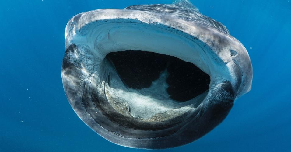 6.fev.2014 - O biólogo marinho Simon Pierce fez um desafio fotográfico a si mesmo: registrar o maior peixe do planeta com a boca aberta. Foi em um mergulho na Isla Mujeres, nas proximidades de Cancún, no México, que ele obteve sucesso. Para fotografar o tubarão-baleia (Rhincodon typus, espécie que pode alcançar até 17 metros de comprimento), Pierce nadou em meio a cerca de 100 espécimes. Mas não correu muito risco de morte. Isso porque o tubarão se alimenta principalmente de zooplâncton (organismos minúsculos que integram a fauna marinha) e não costuma atacar humanos. Confira mais do trabalho de Pierce no link (em inglês)