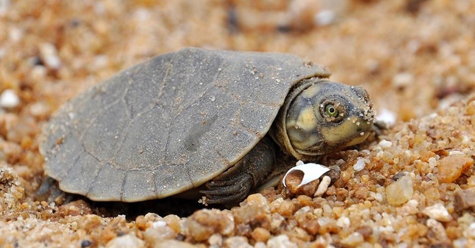 A criação de tartarugas-da-amazônia acontece desde a década de 90 no Brasil e serve de alternativa à caça predatória. Um produtor de Goiás criou uma linha de cosméticos com base na gordura do animal. Clique para saber mais