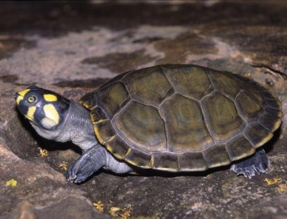 Como alternativa à caça ilegal, o governo permite a criação de tartarugas desde a década de 90. A principal espécie é a tartaruga-da-amazônia, mas outras como o tracajá (Podocnemis unifilis) da foto, também são criadas, de acordo com o Ibama