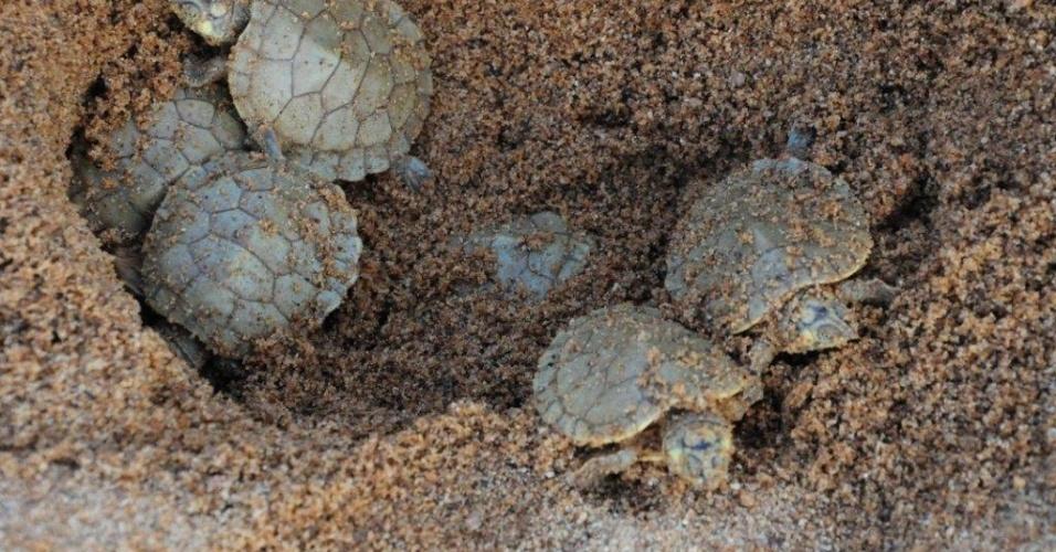 """De acordo com a pesquisadora Vera Ferreira Luz, do O Ibama informa que 3.644 tartarugas foram apreendidas por fiscais em 2013 no país. Como a maior parte das criações autorizadas fecharam desde 2002, o consumo de animais vindos da caça predatória continua a ocorrerInstituto Chico Mendes, as tartarugas-da-amazônia devem passar do status de """"não preocupante"""" para """"quase em extinção"""""""