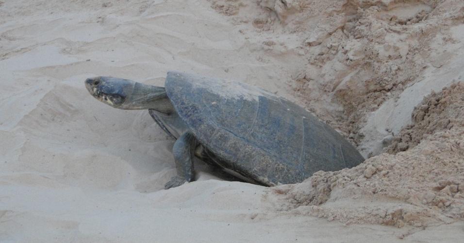 O número de criações de tartarugas caiu 74% entre 2002 e 2014. Sem alternativas legais, a caça predatória das tartarugas continua. No município de Tapauá (AM), de 19 mil habitantes, 34 toneladas de tartarugas são consumidas ilegalmente todo ano