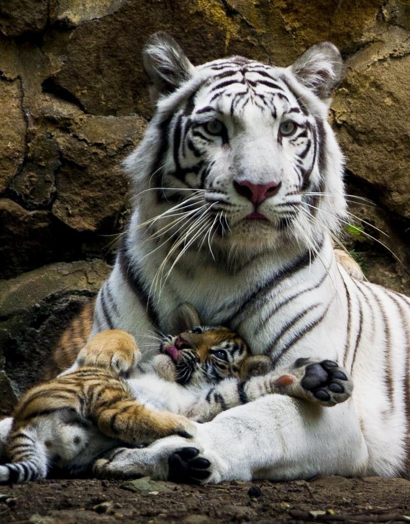 7.fev.2014 - A tigresa branca Indira descansa com um de seus três filhotes no zoológico de Cali, na Colômbia, nesta quinta-feira (6). Os filhotes nasceram em 30 de novembro passado