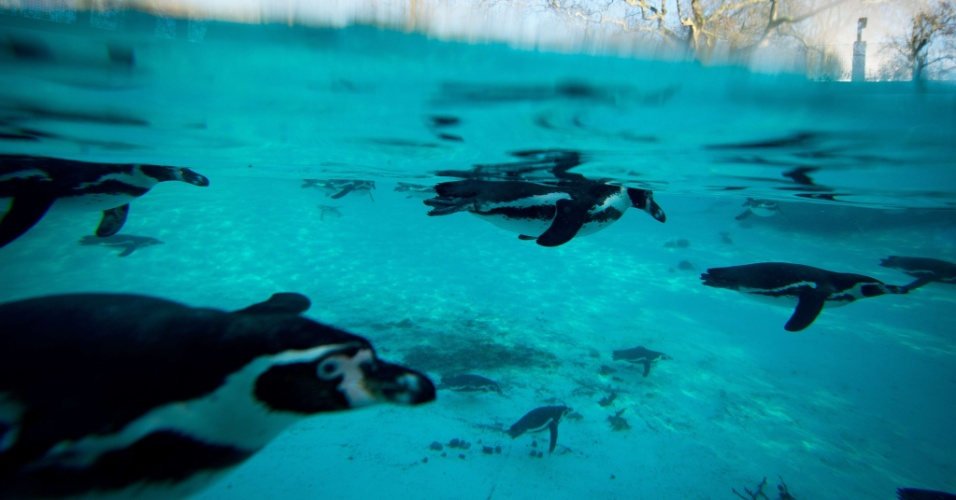 """7.fev.2014 - PINGUINS DEPRIMIDOS - A chuva torrencial que castiga o santuário de Scarborough (Reino Unido) complicou a vida de pinguins da espécie Humboldt. Diferentemente de seus colegas que vivem na costa da América do sul, os pinguins em cativeiro não resistiram ao mau tempo e ficaram deprimidos. Mas a equipe do santuário encontrou uma solução para a alegrar os pinguins: antidepressivos. """"Até agora, está funcionando. Mas estamos todos 'rezando' para que o tempo mude logo e os pinguins fiquem mais felizes"""" afirmou a integrante da equipe Lyndsey Crawford ao jornal inglês The Guardian"""