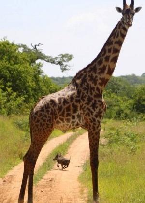 O zoológico de Copenhague planeja matar amanhã (9) a girafa Marius, de 18 meses, para evitar o acasalamento de animais da mesma família