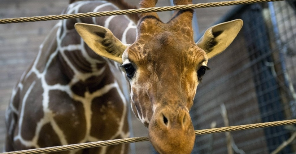 9.fev.2014 - Foto tirada na sexta-feira (7) mostra Marius, uma jovem girafa macho, perfeitamente saudável, que foi morta a tiros e autopsiada na presença de visitantes do zoológico em Copenhagen, na Alemanha, na manhã deste domingo (9)