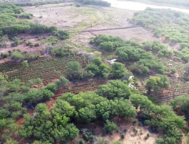 """Plantação de maconha no sertão de Pernambuco encontrada pela Polícia Federal e pelo Corpo de Bombeiros durante a operação """"Elemento 4"""" - Divulgação"""