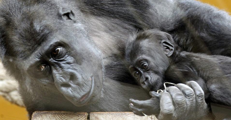 10.fev.2014 - Gorila é visto junto a filhote nascido neste ano, no Parque da Natureza de Cabárceno, na Espanha
