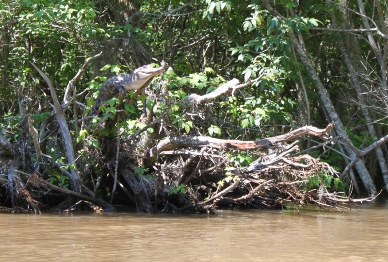 11.fev.2014 - CUIDADO, MACACOS - Um estudo da Universidade do Tenesse documentou um hábito inédito em crocodilos: escalar árvores. Na pesquisa publicada no periódico Herpetology, os cientistas observaram crocodilos saltando de árvores para caçar presas na água