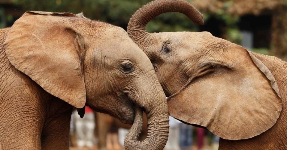 12.fev.2014 - Filhotes órfãos de elefantes brincam no orfanato Daphne Sheldrick, no parque nacional de Nairóbi, no Quênia, em foto de 12 de fevereiro de 2014. O orfanato é administrado por Daphne Sheldrick, mulher do naturalista David William Sheldrick (1919-1977)