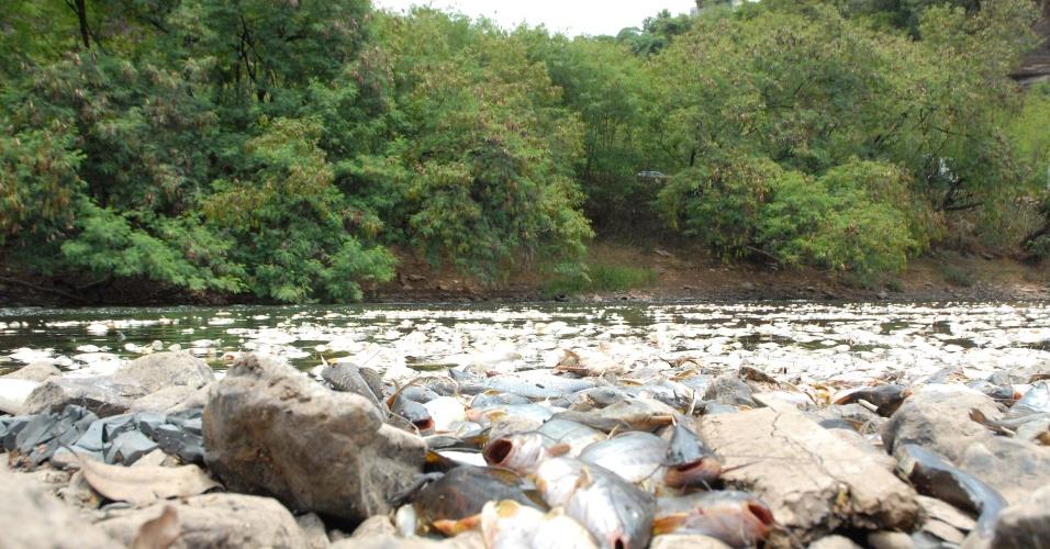 12.fev.2014 - Milhares de peixes são encontrados mortos no rio Piracicaba, em Piracicaba, no interior de São Paulo, nesta quarta-feira (12). Não há informações se o ocorrido tem a seca como causa ou vazamento de algum produto químico