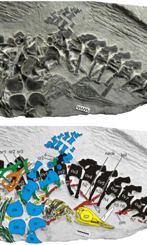 13.fev.2014 - Há 248 milhões de anos, um ictiossauro dava à luz a um filhote. A foto ilustra o fóssil mais antigo já encontrado de um animal em trabalho de parto. Objeto de um estudo da Universidade da Califórnia, Davies, o fóssil apresenta evidências de que esse tipo de réptil marinho evoluiu de um ser que realizava partos em terra firme. Em amarelo, a cabeça de um bêbe icitiossauro em nascimento. A coluna vertebral da mãe é lustrada em preto. Em azul, ossos da bacia