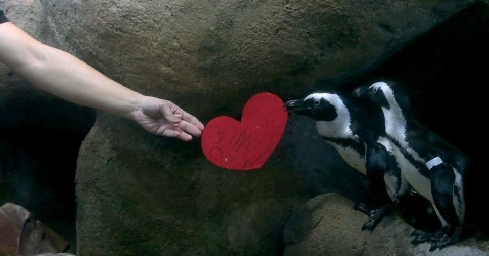 14.fev.2014 - AMOR DE PINGUIM Os pinguins africanos da Academia de Ciência da Califórnia não passaram em branco o dia dos namorados nos EUA (Valentine's Day): receberam cartões em forma de coração com mensagens escritas pelos visitantes da Academia. Na foto, o biólogo Jarrod Willis entrega um cartão escrito por ele