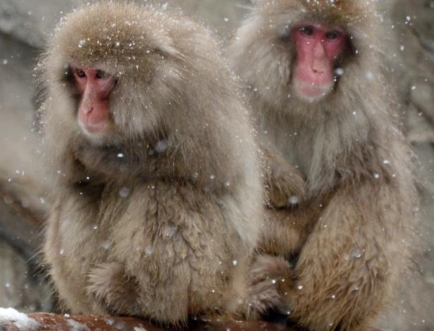 14.fev.2014 - Macacos lutam contra o frio no Zoológico Ueno, em Tóquio, nesta sexta-feira (14). O clima de inverno pesado deve atingir a área metropolitana de Tóquio novamente hoje, trazendo consigo cerca de 10 centímetros de neve