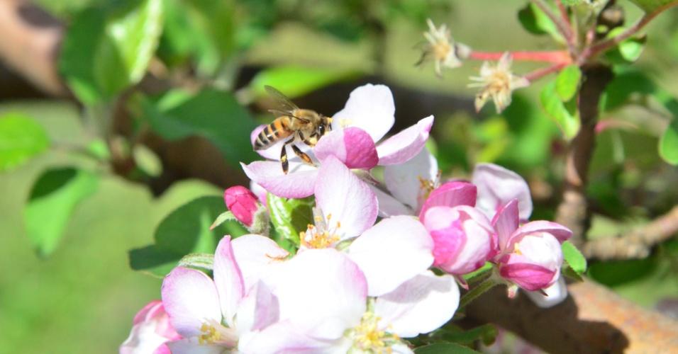 De acordo com o professor Afonso Inácio Orth, do curso de Agronomia da Universidade Federal de Santa Catarina, as maçãs são completamente dependentes da polinização por insetos como as abelhas para dar frutos e se reproduzir. Produtores do Sul alugam os insetos na época das flores