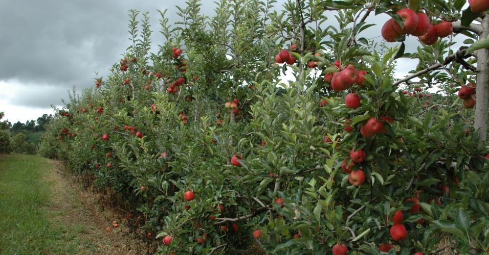 Com o aluguel de uma colmeia por um mês para produtores de maçãs, o apicultor Joselmar Tonial fatura R$ 65; mais da metade do que os cerca de R$ 104 que ganha com a venda do mel que uma colmeia produz em um ano
