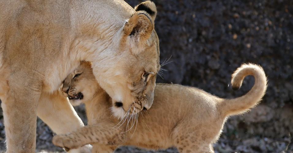 18.fev.2014 - A leoa Kiki, de 13 anos , brinca com seu filhotinho no jardim zoológico de Atlanta, Georgia, nos EUA, nesta terça-feira (18)