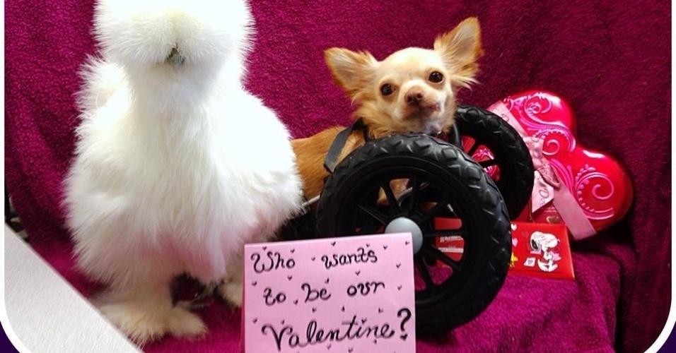 Chihuahua 'deficiente' e pintinho salvo de laboratório viram melhores amigos