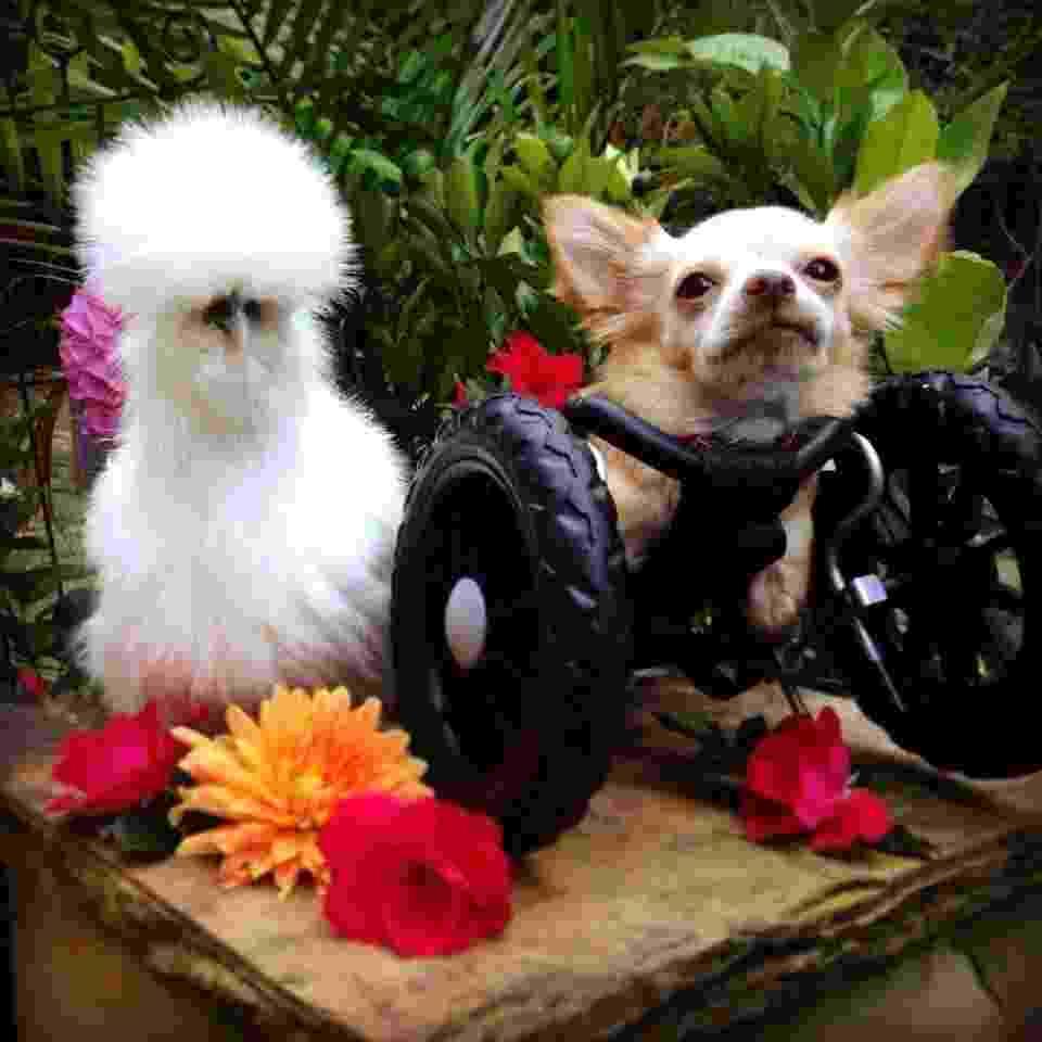 Chihuahua 'deficiente' e pintinho salvo de laboratório viram melhores amigos - Divulgação/Duluth Animal Hospital