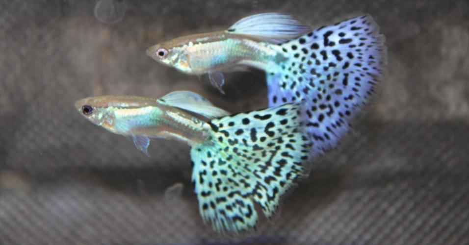 """Originário da América Central, o """"guppy"""" (Poecilia reticulata) é um exemplo de peixe que não põe ovos. A fêmea incuba os ovos no abdome e os filhotes nascem já formados. Os """"guppies"""" coloridos custam em média R$ 4 reais em lojas"""