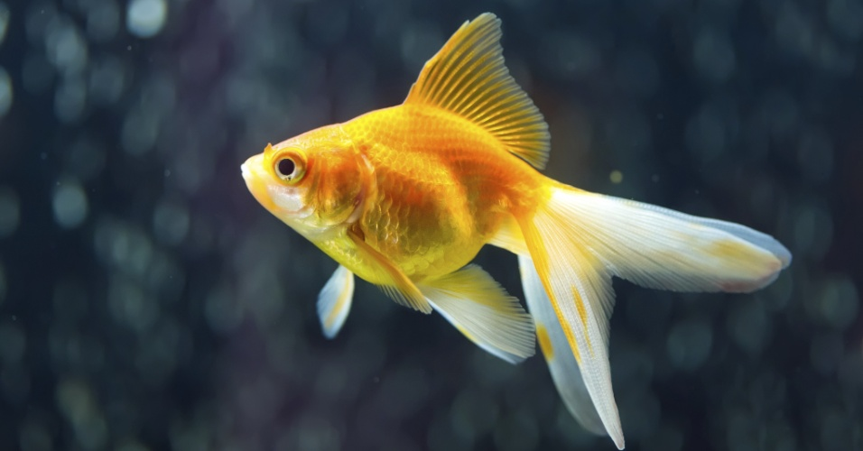 kinguio, peixinho dourado