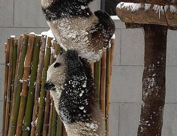 Panda ajuda amigo a subir em árvore