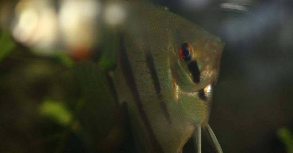 Originário da região amazônica, o acará-disco (Symphysodon discus) tem o habito de vigiar os ovos e os filhotes, atacando agressores. Quando nascem, os filhotes comem o muco que cobre a pele dos pais, um caso único de alimentação de filhotes. Custam a partir de R$ 30, mas em cores raras chegam a R$ 1.500