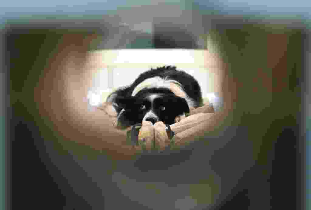 21.fev.2014 - Maverick um cão da raça border collie, espera em uma clínica de neurologia em Budapeste, Hungria. Pesquisadores húngaros realizaram o primeiro estudo a comparar as funções cerebrais de humanos com as de animais não primatas. Segundo a pesquisa publicada na revista Current Biology, os cães são capazes de perceber emoções alheias como felicidade, tristeza e raiva - Bernadett Szabo/Reuters