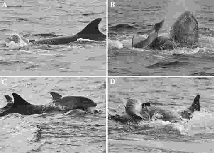 24.fev.2014-  Kevin P. Robinson, biólogo de um instituto de pesquisa de cetáceos na Escócia, descreveu em janeiro de 2014, em um artigo para a revista Marine Mammal Science, uma cena de tentativa de infanticídio de um golfinho que presenciou em 14 de setembro de 2009. A agressão ocorreu em um estuário na costa nordeste escocesa. De acordo com ele, um grupo de 42 golfinhos (entre eles, várias mães e bebês) nadava tranquilamente pelo local quando começou uma agitação inesperada. Um minuto depois, um macho emerge segurando um filhote recém-nascido entre os dentes. Ele chacoalha o filhote e o  atira para longe. Em seguida, tenta afogá-lo, arrastando-o para o fundo do mar (golfinhos precisam emergir para respirar). Em certo momento, a mãe consegue se posicionar entre ele e o filhote, numa tentativa de proteger sua cria. Mas o macho consegue se desvencilhar e volta a golpear o filhote seguidamente na cabeça, na coluna e na cauda - Divulgação