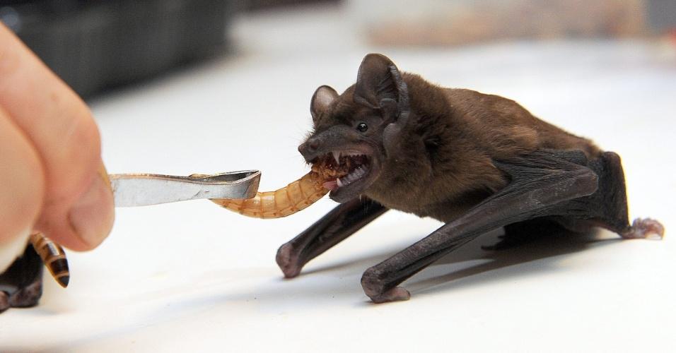 25.fev.2014 - Uma voluntária do Centro de Reabilitação de Animais Selvagens alimenta um morcego em Szczecin, na Polônia, nesta terça-feira (25). O centro recebeu 17 animais que não conseguiam sobreviver em um habitat selvagem