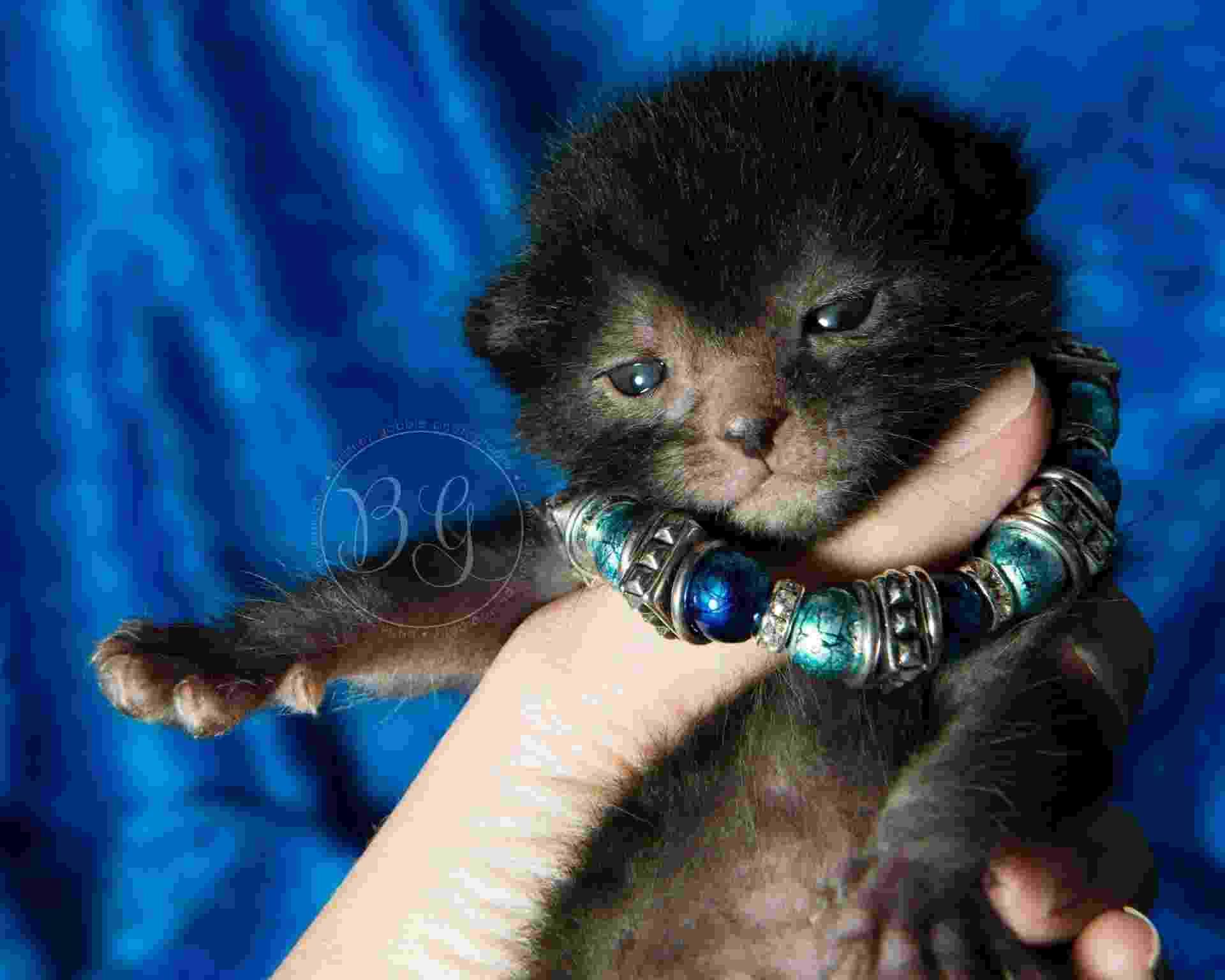 25.fev.2014- Gatos mutantes têm cara de lobisomem e podem ser nova raça, Lykoi - Reprodução/Facebook Likoy Cats
