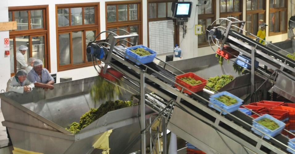 As caixas de 18 quilos passam por uma esteira e as uvas são derrubadas em um suporte de metal, onde são pesadas e levadas para o interior da vinícola para início do processo de fabricação de vinhos e espumantes
