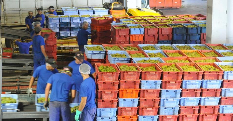 Depois de colhidas, as uvas são encaminhadas às vinícolas para a produção de vinhos e espumantes. A fruta chega em caixas, já limpas e sem folhas ou galhos