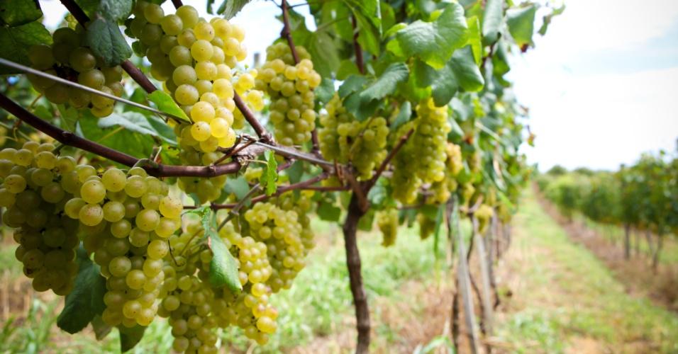 A uva de variedade chardonnay é uma das mais usadas na produção de espumantes no Rio Grande do Sul. Este tipo de uva é doce, de casca fina e rende vinhos com boa dose de acidez