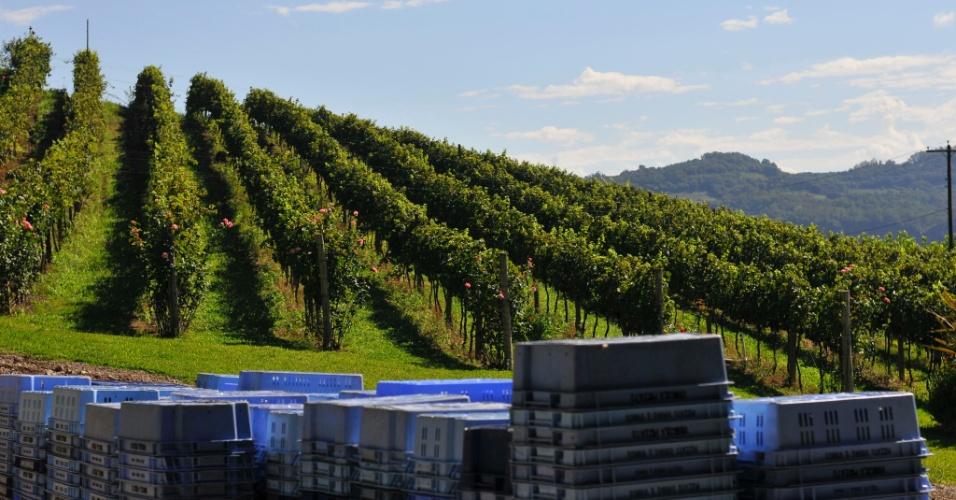 A colheita das uvas na Serra Gaúcha ocorrem entre janeiro e março. O Rio Grande do Sul é o maior produtor de uvas,  concentrando entre 80 e 90% da produção nacional. De lá, saem uvas in natura, vinhos, espumantes, geleias, vinagres e cosméticos feitos com a fruta para serem vendidos em todo o país