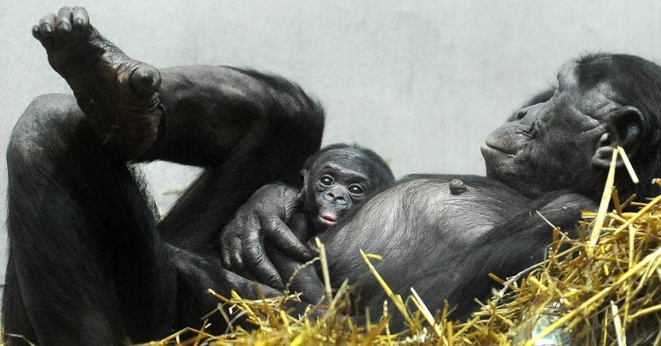 26.fev.2014 - Filhote de chimpanzé bonobo recém-nascido descansa na barriga de sua mãe no zoológico de Wuppertal, na Alemanha