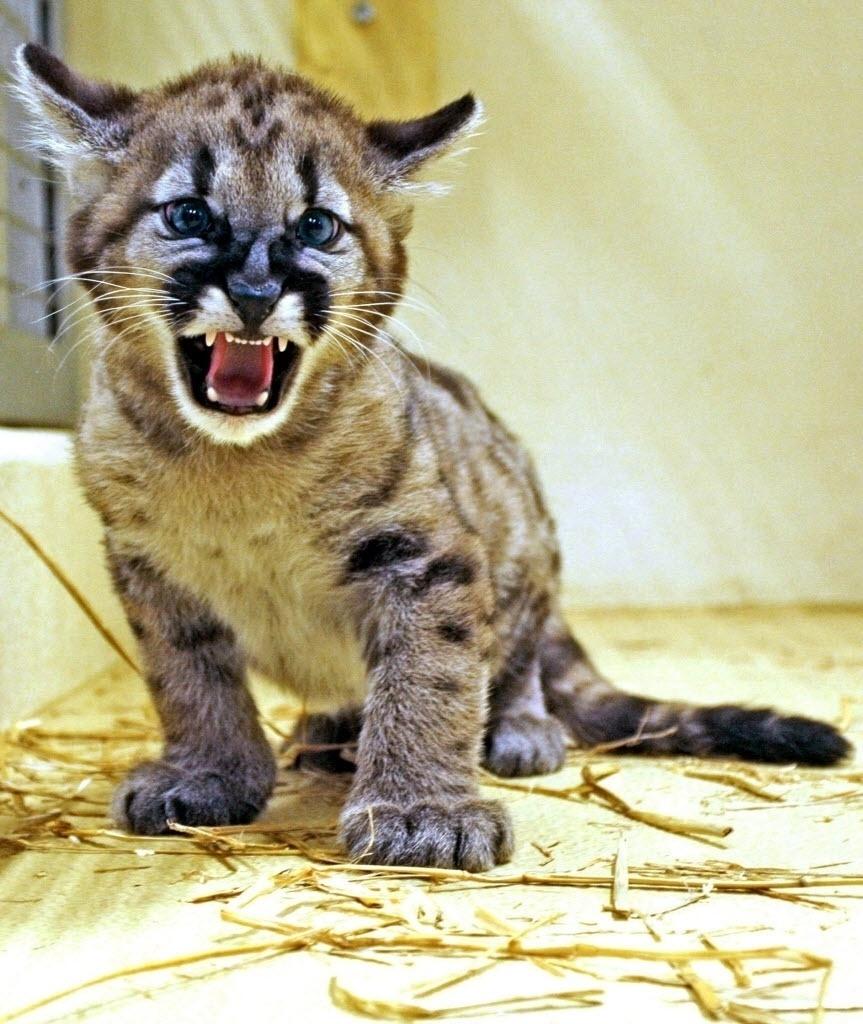 26.fev.2014 - Fotografia cedida nesta quarta-feira (26) pelo zoológico de Salzurgo, na Áustria, mostra o filhote de pantera Maxxum, na sua jaula. Ele nasceu no dia 24 de dezembro, mas só agora foi exposto ao público