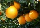 Tribunal acaba com terceirização da mão de obra na laranja e multa empresas - Divulgação/Fundecitrus