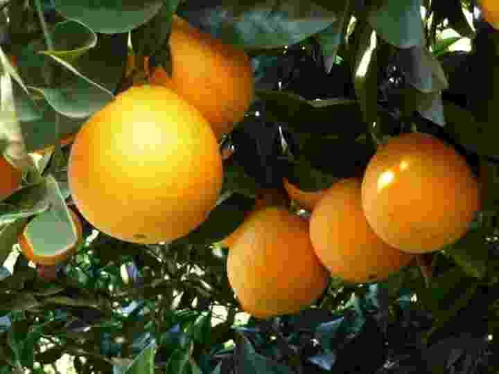 laranja navelina - Divulgação/Fundecitrus