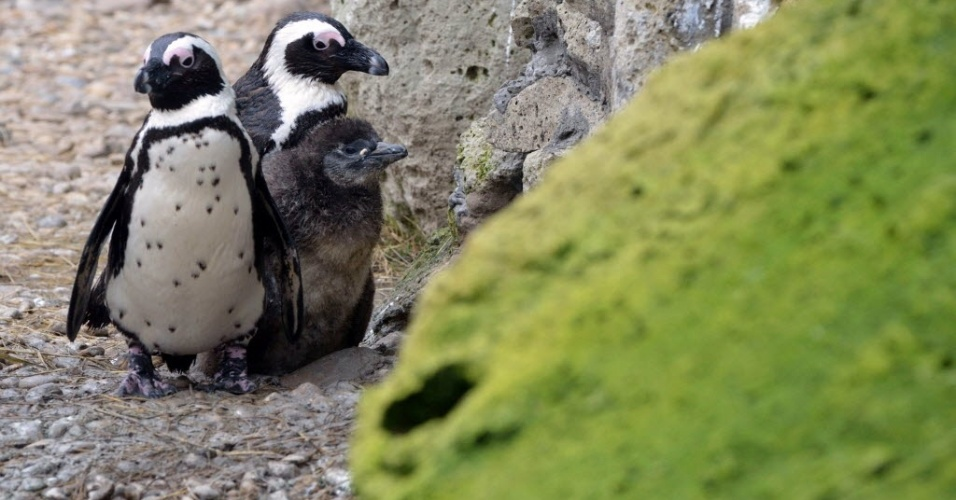 28.fev.2014 - Filhotes de pinguim passeiam pelo zoológico de Szeged, na Hungria, nesta quinta-feira