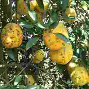 laranja com pinta preta dos citros - Divulgação/Fundecitrus
