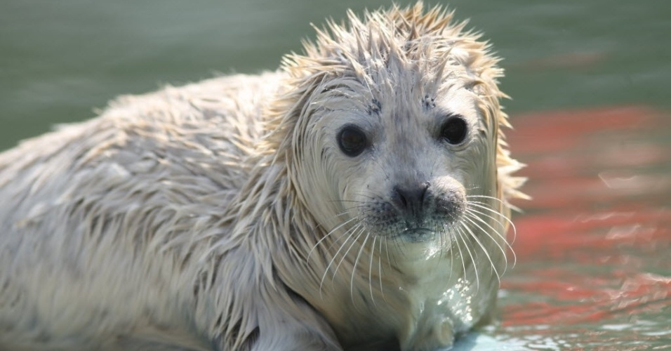 2.mar.2014 - Um filhote recém-nascido de foca é visto no Dongpaotai Scenic Area, em Yantai, na província de Shandong, na China, neste domingo (2). Dois filhotes de foca manchados nasceram na China no dia 21 de fevereiro e 25