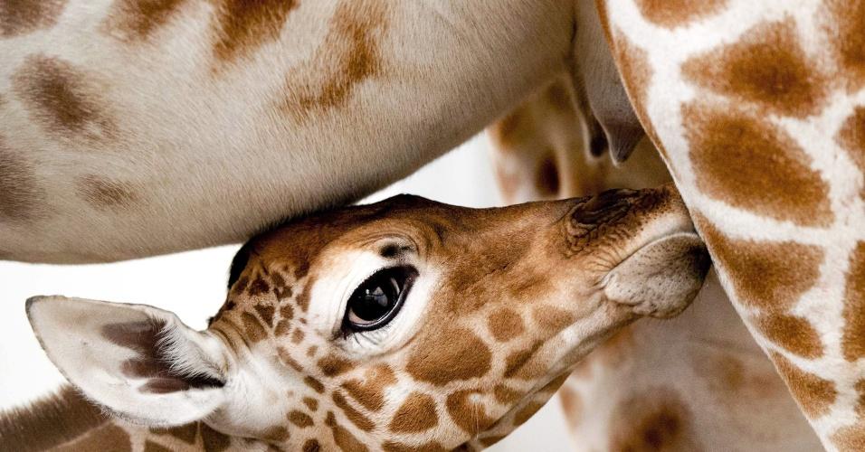 2.mar.2014 - Uma filhote de girafa recém-nascida e sua mãe, Iwana, são exibidas no Zoo Artis em Amsterdam, na Holanda. O bebê-girafa ainda não tem nome e nasceu no último sábado (1º)