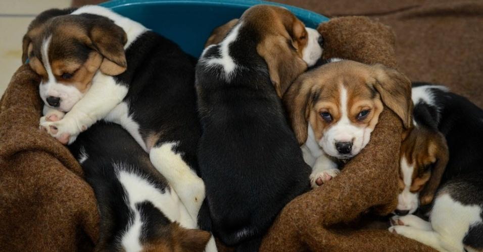 4.mar.2014 - Filhotes de beagle foram resgatados de uma transportadora de animais do Leste Europeu e levados para abrigo em Nuremberg, na Alemanha