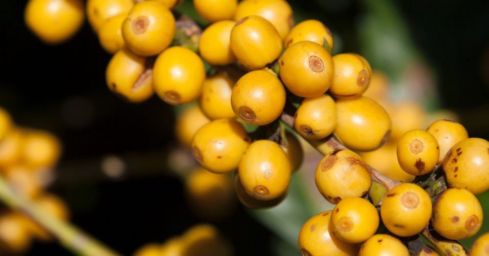 café em plantação da empresa O'Coffee, em Pedregulho (SP)