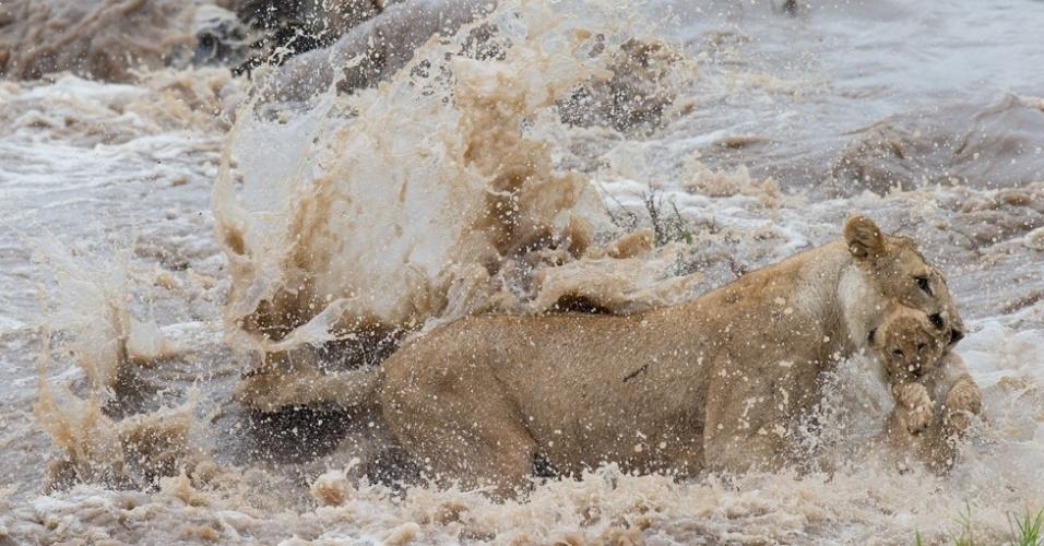 6.mar.2014 - Segurando o filhote com a mandíbula, a leoa tentava se juntar ao resto do bando na outra margem do rio