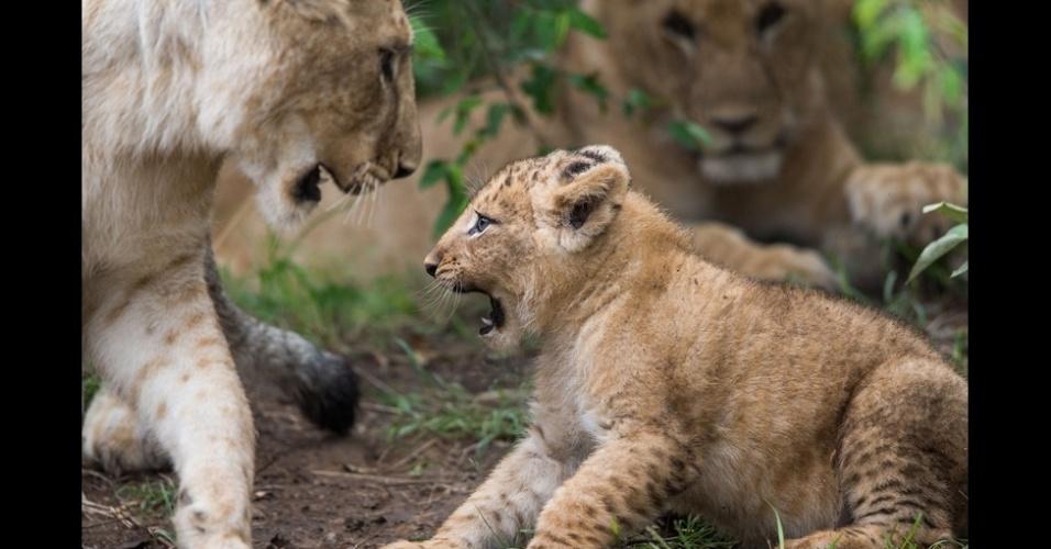 6.mar.2014 - Um estudo que durou 45 anos, realizado na Tanzânia, revelou que os grupos de leões que têm as melhores taxas de reprodução têm territórios localizados mais próximos de áreas de confluência de rios. Acima, a leoa e o filhote se juntam ao bando depois de cruzar o rio